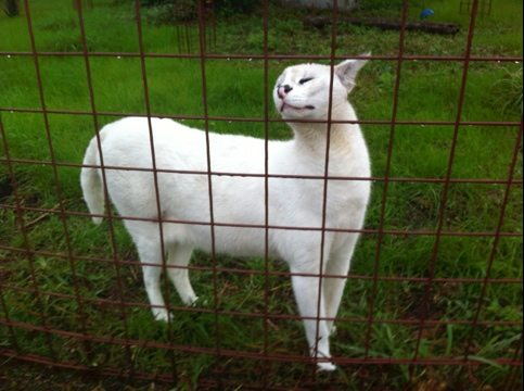 Pharaoh the white serval is solicitous to his feeder tonight