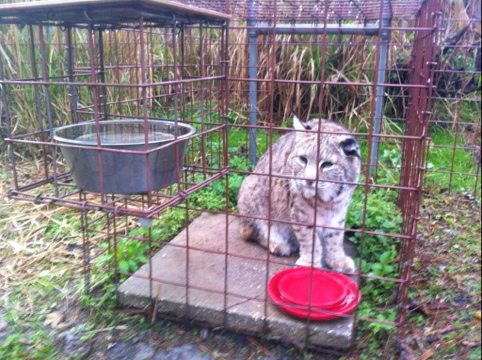 Windstar the bobcat patiently waits for his dinner
