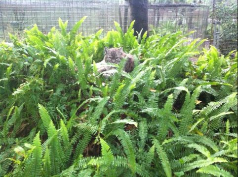 Raindance the bobcat nests in fern covered den in her new cat-a-tat