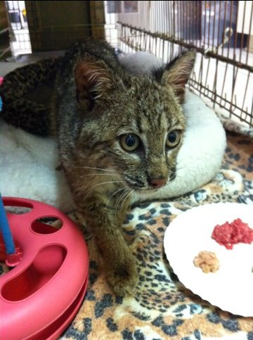 Today at Big Cat Rescue Feb 18 Welcome to New Bobcat Kitten