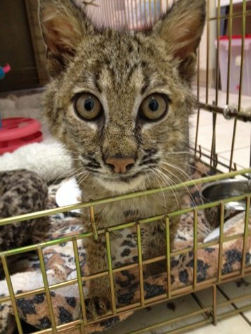 Bobcat Kitten Rescue