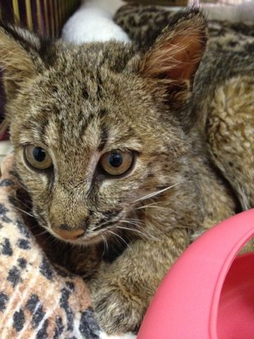 Bobcat kitten's eyes respond to light, but he walks into walls