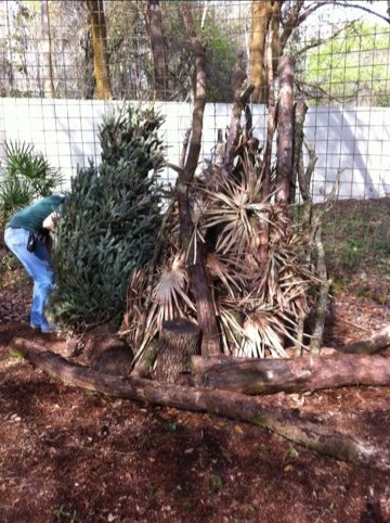 Christmas trees last us for months in building forts and lodges
