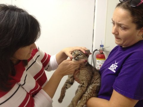 Rufus the bobcat gets checked by the vet in West Boensch Cat Hospital