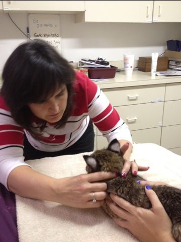 Dr Wynn examines Rufus the bobcat kitten's eyes