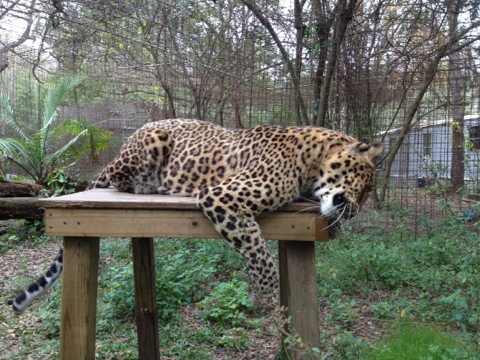 Cheetaro the leopard loves his volunteer built platform