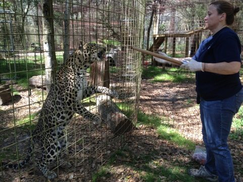 Master Keeper, Regina, does Operant Conditioning with Reno Leopard