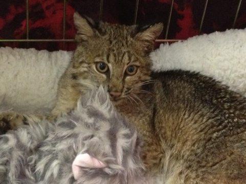 Rufus bobcat w/ heartbeat cat toy donated by Cy & Joanne Spurlino