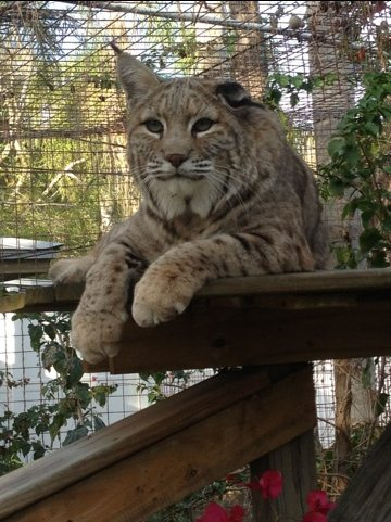 Windstar the bobcat observes the lake from his high perch