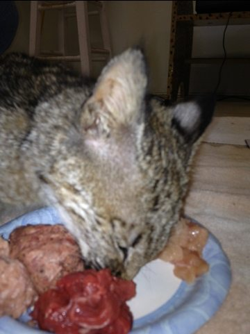 Rufus the bobcat kitten chows down on Natural balance and chicken
