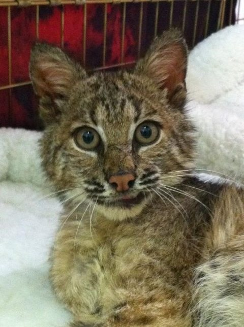 Bobcat baby's Elvis grin is just too precious