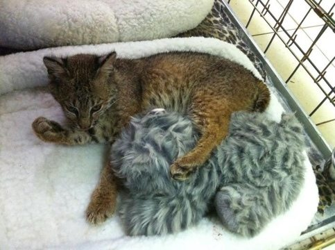 After dinner Rufus the bobcat kitten bathes himself and his toy