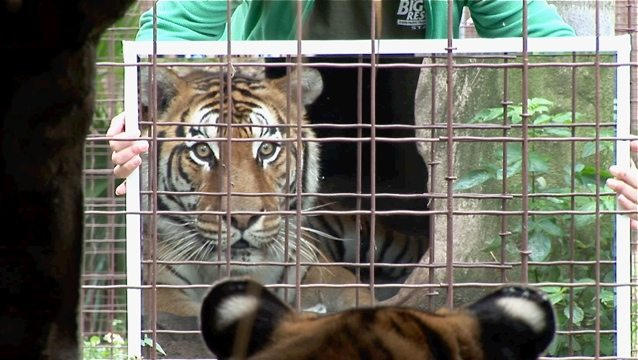 Flavio the tiger sees himself for the first time in 23 years