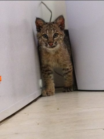 Rufus the bobcat kitten loves to explore by feeling his way around
