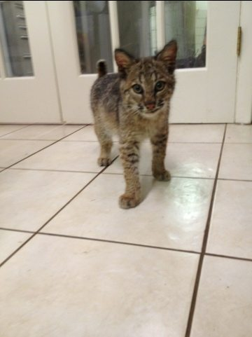 Nothing is a cute as a baby bobcat kitten