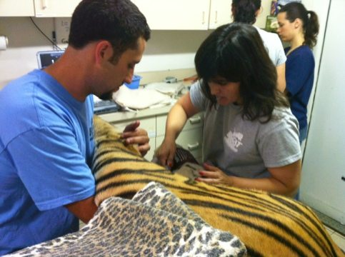 Justin and Dr Wynn install IV line into Andre the tiger