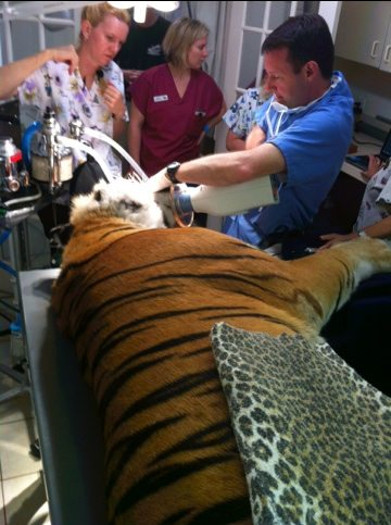 Andre had broken off all four canines in 2003 when he went from NJ's Tigers Only Preserve to Wild Animal Orphanage