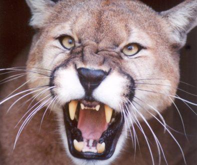 snarl-growl-mad-Cougar-Mountain-Lion-Puma-CODY4