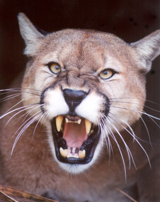 Caged cougar bites Newark social worker in Pataskala