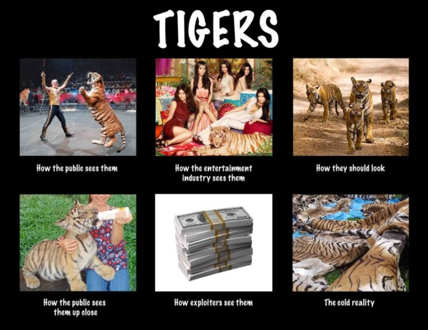 Tigers Info Graphic