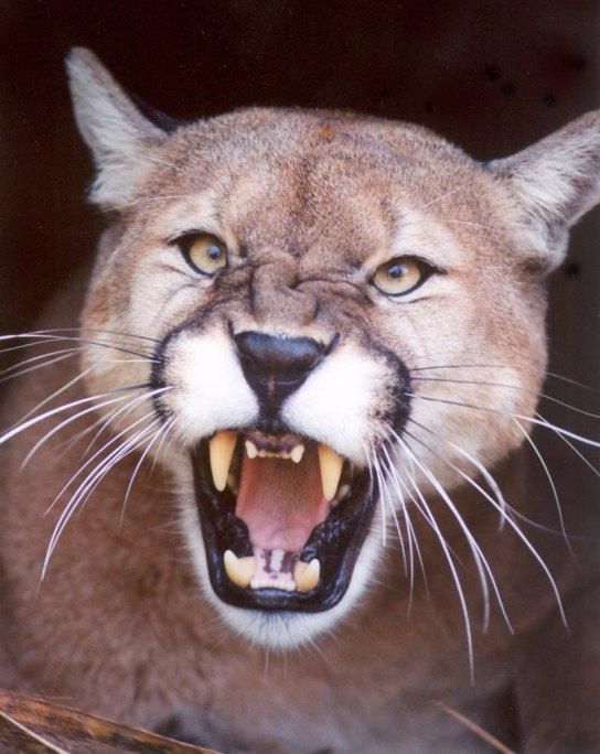 snarl-growl-mad-Cougar-Mountain-Lion-Puma-CODY4