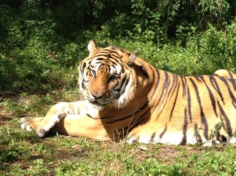 Shere Khan the tiger crosses his paws and watches volunteers