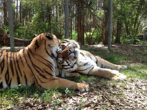 Tigers in love at Big Cat Rescue