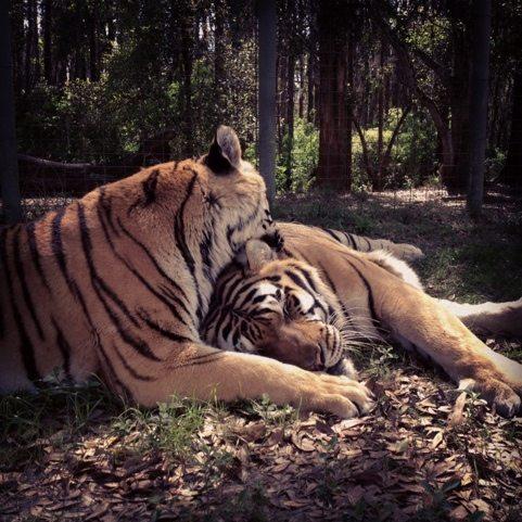 A long tiger bath before a tiger siesta at Big Cat Rescue
