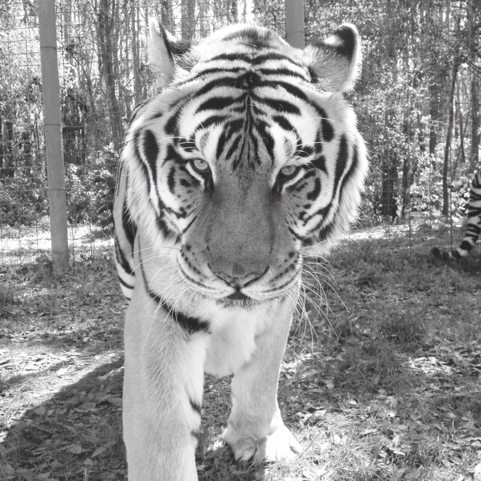Chris trying out some photo editing apps on his iPhone of tiger image