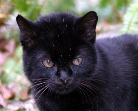 19 year old Nico the Geoffroy cat had to go to the dentist today
