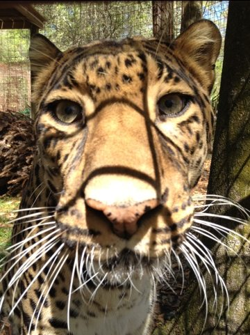 Simba leopard is glad his teeth are in good shape