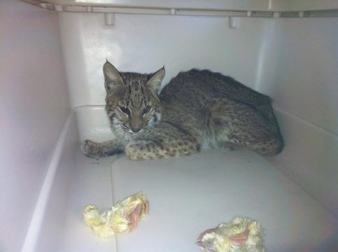 Blind bobcat will have a home at Big Cat Rescue if her eyesight cannot be restored