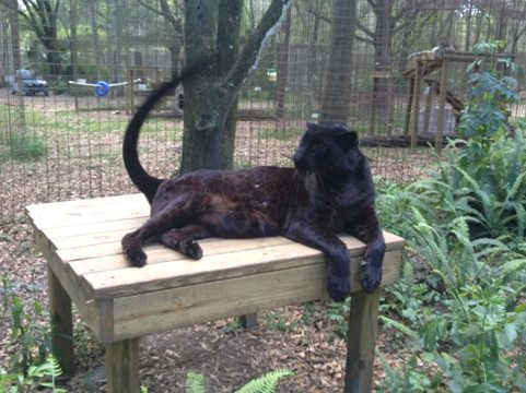 Jumanji the black leopard does a tail dance to attract attention