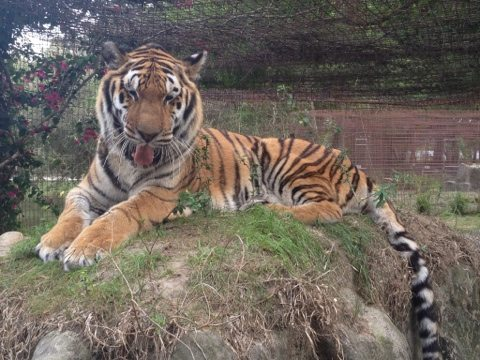 Cookie the Tiger enjoying a new view from atop Bella tiger's den
