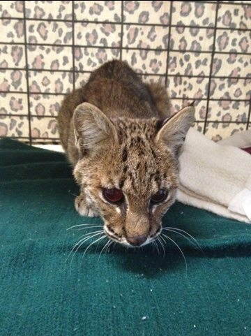 Blind bobcat kitten was seen by an eye specialist, Dr Millier, today