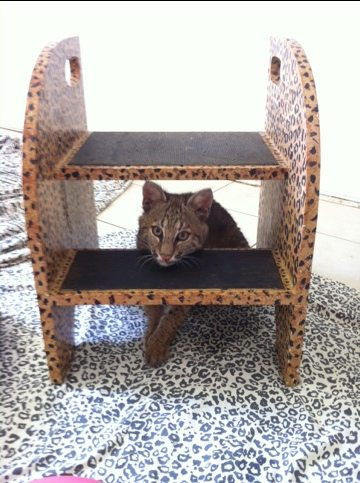 Rufus the bobcat kitten is either stuck or waiting to be noticed