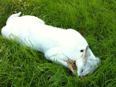 Pharaoh the white serval prefers catnip to green beer any day