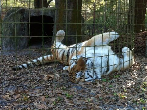 Tiger rolling on catnip filled paper bag at Big Cat Rescue