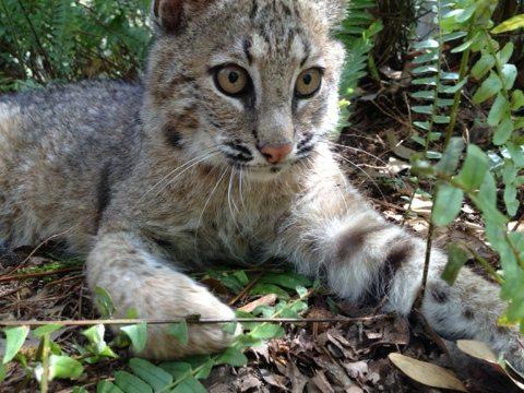 Rufus the bobcat kitten
