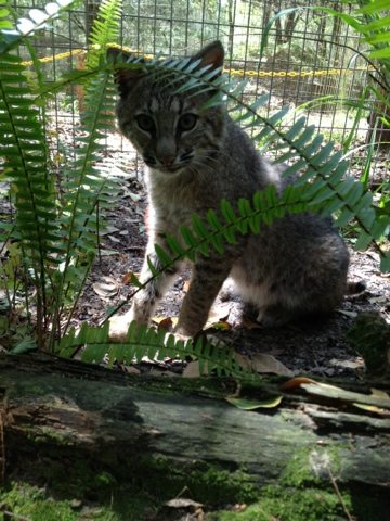 Rufus the bobcat has attention diverted by sounds