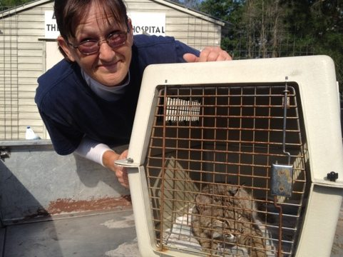 Gale tucks Rufus the baby bobcat back into the Cat Hospital for the night