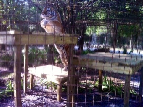 TJ the tiger in mid leap up onto his new platform built by the Holleys