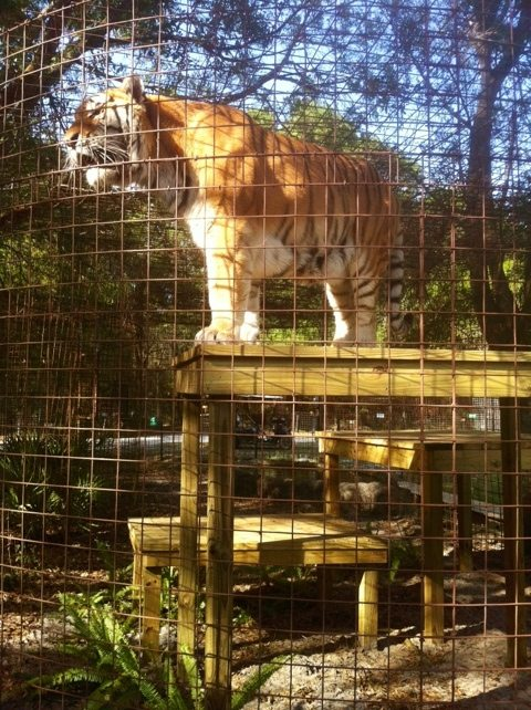 TJ the tiger surveys his kingdom from a high vantage point