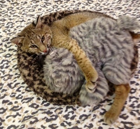 Rufus the bobcat snuggles with heated heartbeat cat buddy