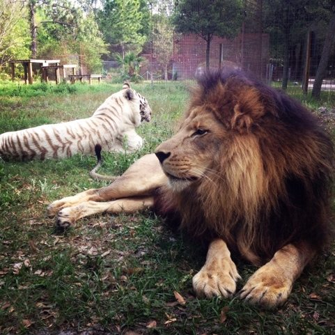 Great shot of Cameron the lion and Zabu the white tiger together