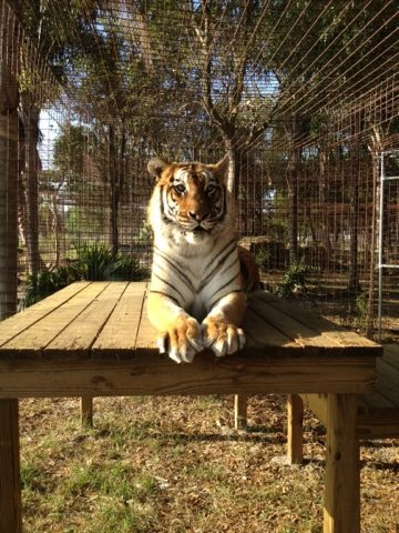 The tigers are loving their new perches