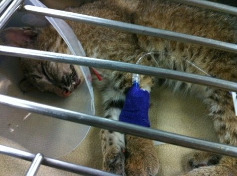 Rufus the blind bobcat kitten suffers a terrible seizure