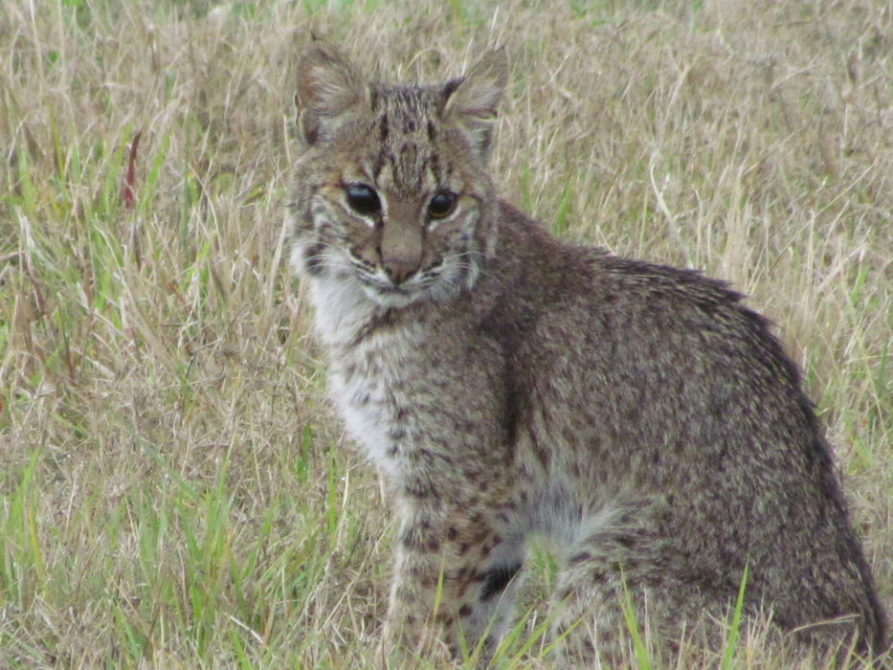 What To Do If You Find a Baby Bobcat Kitten