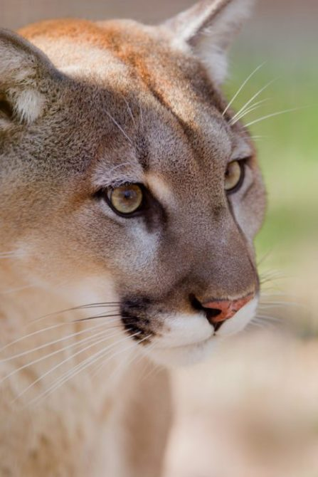 Killing of mountain lion confirms Richards pattern of poor judgment