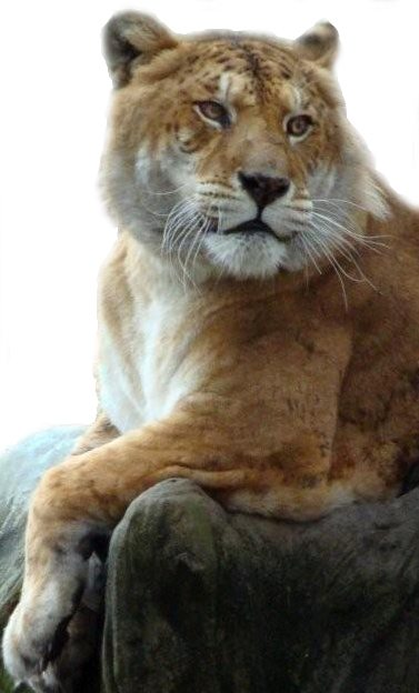 Ligers and Tigons are hybrids of Lion and Tiger Matings